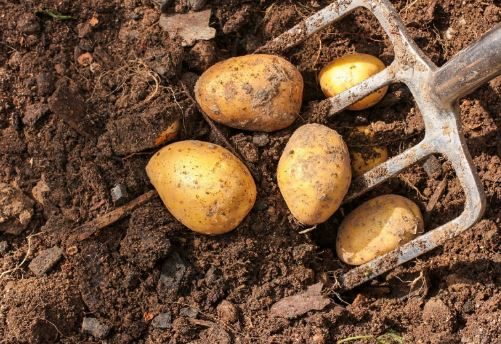Incredible Benefits Of This Super Vegetable Potato
